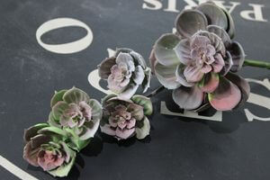 Zeleno tmavofialová viackvetá skalná ruža 32cm