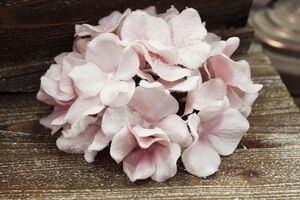 Ružová zamrznutá hortenzia 65cm
