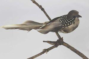 Hnedo sivý vtáčik so štipcom 17cm